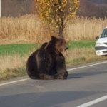 Premierul Ludovic Orban a găsit vinovații pentru ursul lăsat 18 ore pe marginea drumului